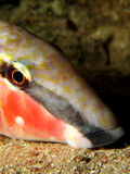Goatfish Royalty Free Stock Image