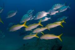 Goatfish Arkivfoton