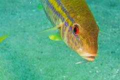 Goatfish Royaltyfria Foton