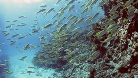 Goatfish de la trucha salmonada en un arrecife de coral almacen de video