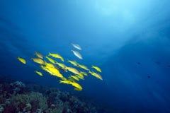 Goatfish de Yellowsaddle foto de stock royalty free