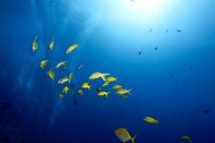 Goatfish de Yellowsaddle fotos de stock