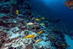 Goatfish de Yellowsaddle no Mar Vermelho. Foto de Stock Royalty Free