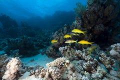 Goatfish de Yellowsaddle no Mar Vermelho. imagens de stock