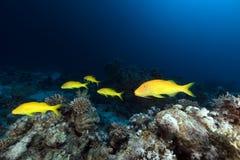 Goatfish de Yellowsaddle no Mar Vermelho. foto de stock