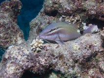 Goatfish del flavolineatus del Mulloidichthys que descansa sobre a imagen de archivo libre de regalías