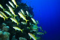 Goatfish della perca gialla Fotografia Stock Libera da Diritti
