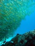 Goatfish della perca gialla Immagine Stock Libera da Diritti