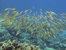 Goatfish della perca gialla in oceano blu Fotografie Stock