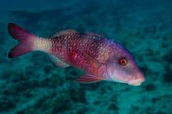 Goatfish di Manybar Immagini Stock
