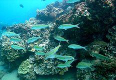 Goatfish do Quadrado-ponto imagens de stock royalty free