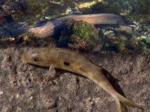 Goatfish eel Royalty Free Stock Photography