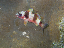 Goatfish. Es are tropical marine perciform fish of the family Mullidae. Seldom found in brackish waters, they are most associated with the reefs of the Atlantic Stock Photo