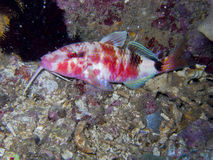 Goatfish1. Goatfishes are tropical marine perciform fish of the family Mullidae. Seldom found in brackish waters, they are most associated with the reefs of the Stock Image