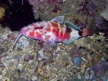 Goatfish1 Stock Image