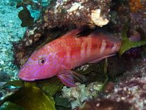 Goatfish - lineatus d'Upeneichthys photo libre de droits