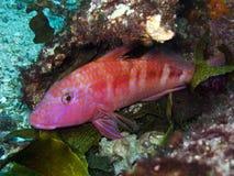 goatfish lineatus upeneichthys Στοκ φωτογραφία με δικαίωμα ελεύθερης χρήσης
