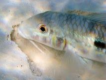 Goatfish macro. Goatfish detail while eating in the sand Stock Photography