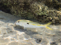 Goatfish in red sea. Goatfish while eating in the sand of red sea coral reef Stock Photos