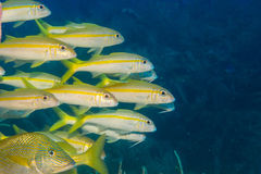 Goatfish Royalty Free Stock Images