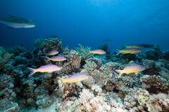 Goatfish and trevally the Red Sea. Royalty Free Stock Photo