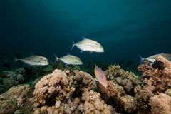 Goatfish and trevally the Red Sea. Royalty Free Stock Images