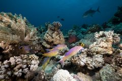 Goatfish and trevally the Red Sea. Royalty Free Stock Photos