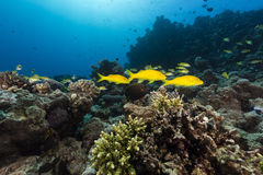 Goatfish in the tropical waters of the Red Sea. Stock Photo
