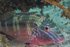Goatfish Royalty Free Stock Photo