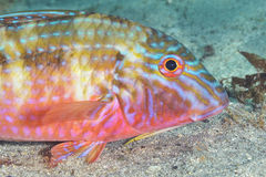 Goatfish Royalty Free Stock Images