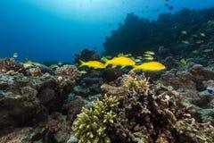 Goatfish w tropikalnym nawadnia Czerwony morze. Zdjęcie Stock