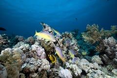 Goatfish y trevally el Mar Rojo. Fotografía de archivo