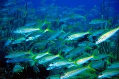 goatfishes tuńczyk żółtopłetwowy zdjęcia royalty free