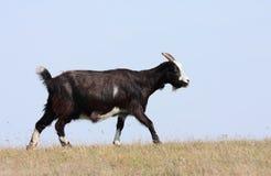 Goath negro Imagen de archivo libre de regalías