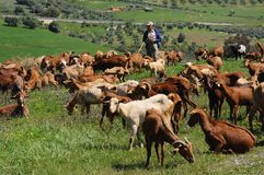 Goatherd, Andalusia, Spain. Spanish shepherd with his herd of goats in the countryside, Near Alora, Malaga Province, Andalusia, Spain Royalty Free Stock Photos