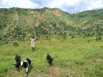 Goatherd in Burundi Hills. A young boy herds goats in the green hills outside Bujumbura, the capital of Burundi, located in East Africa Stock Image
