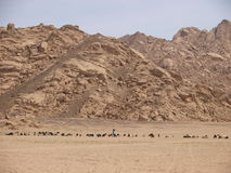 Goatherd with his goats in desert Stock Image