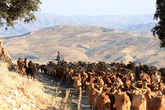 Goatherd with his herd in the Andalusian mountains Royalty Free Stock Images