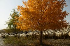 The goatherd in populus euphratica forest. The populus euphratica forest in Taklimakan Desert Royalty Free Stock Photos