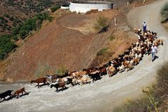 Goatherd, Iznate, Andalusien, Spanien. Stockbilder
