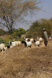 Goatherd watching his  goats Stock Image