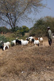 Goatherd watching his  goats Royalty Free Stock Images
