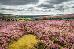 Goathland Moor Heather Royalty Free Stock Image