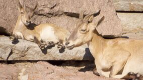 Goatling和母亲山羊与放置在岩石的大垫铁在山 放松山羊的家庭户外 股票视频