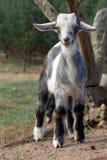 Goatling играя на холме Стоковая Фотография RF