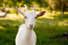 Goatling Royalty-vrije Stock Foto