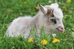 Goatling Stock Image