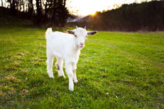 Goatling. Is grazing on the meadow royalty free stock image