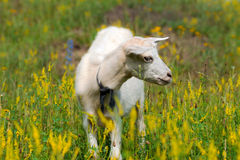 Goatling Стоковые Фото