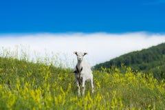 Goatling Стоковое Фото